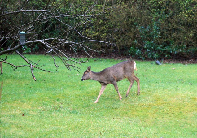 Deer Looking for Food in the Garden