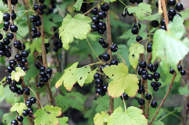 Blackcurrant's 2013