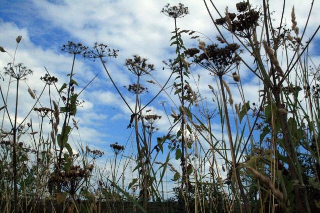 Grass seedheadsagainst cloudy sky